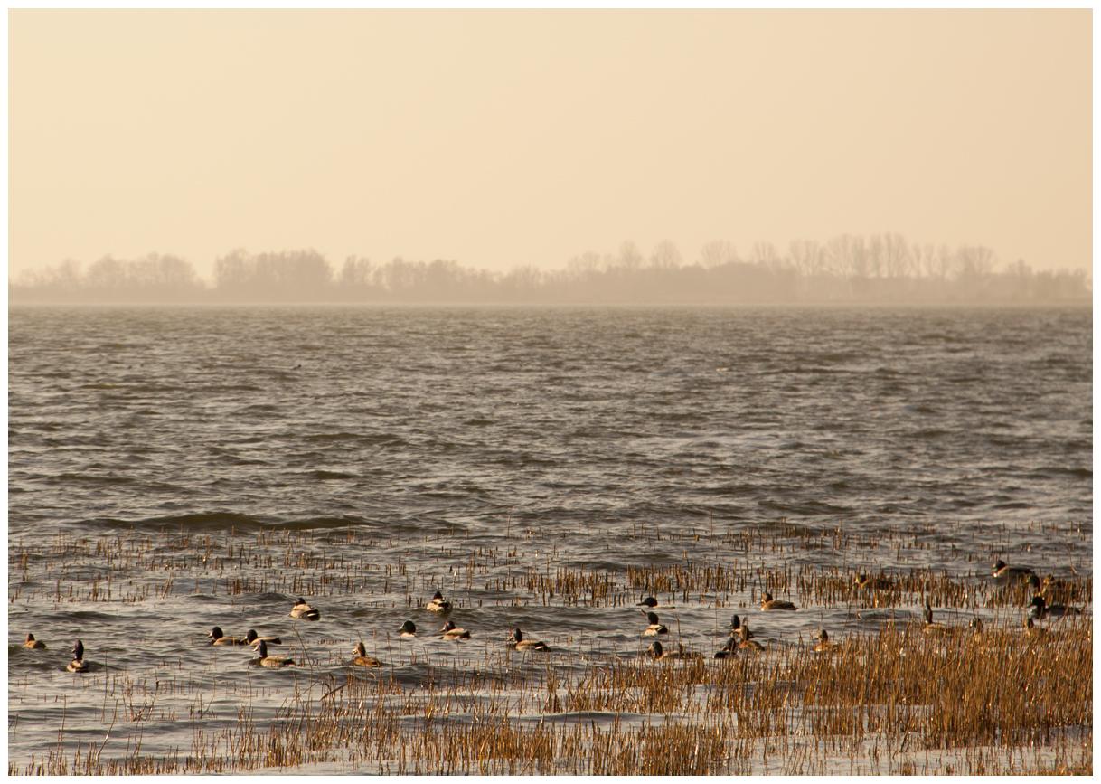 Enten im Achterwasser