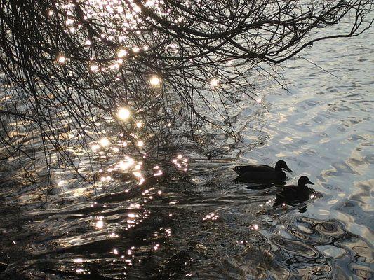 Enten im Frühjahr