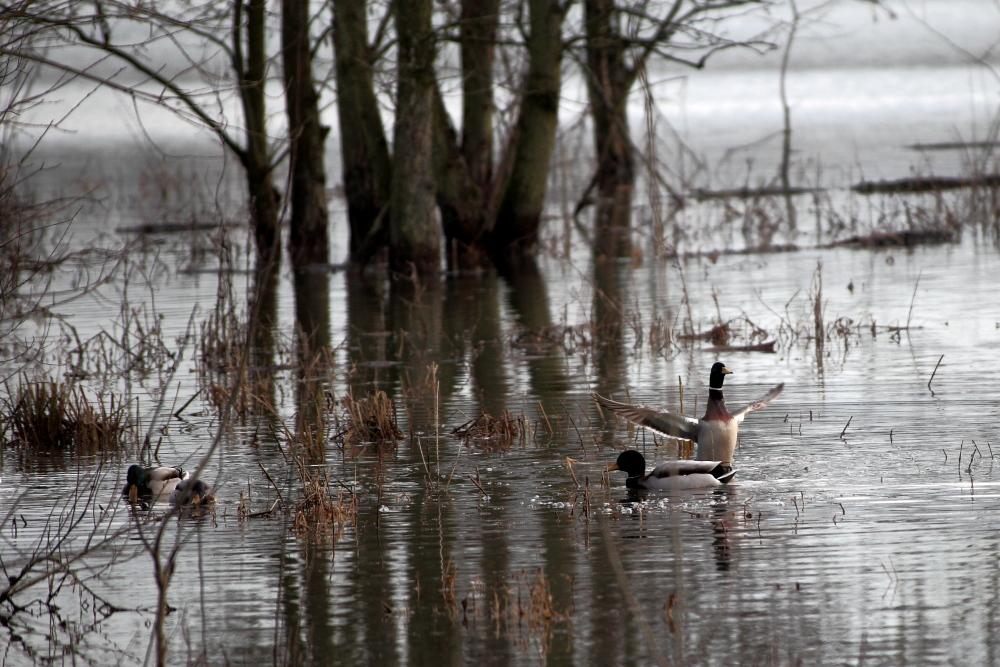 Enten im Hochwasser von der Kinzig