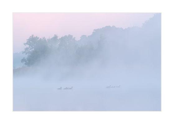 Enten im Morgennebel vor Sonnenaufgang