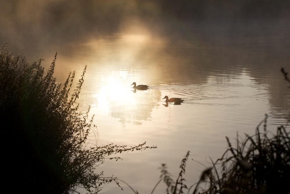 Enten im morgentaulichen Sonnenschein ...