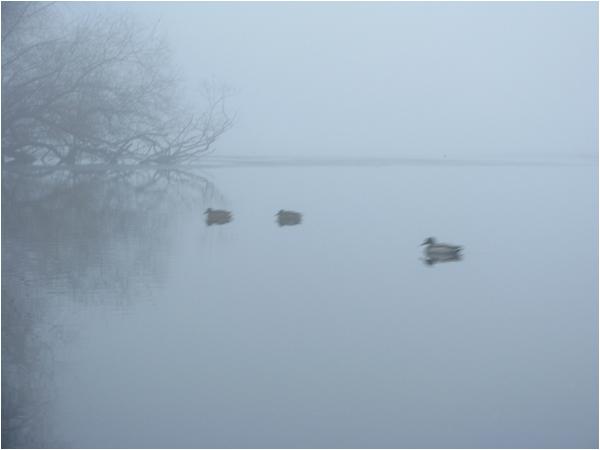 Enten im Nebel