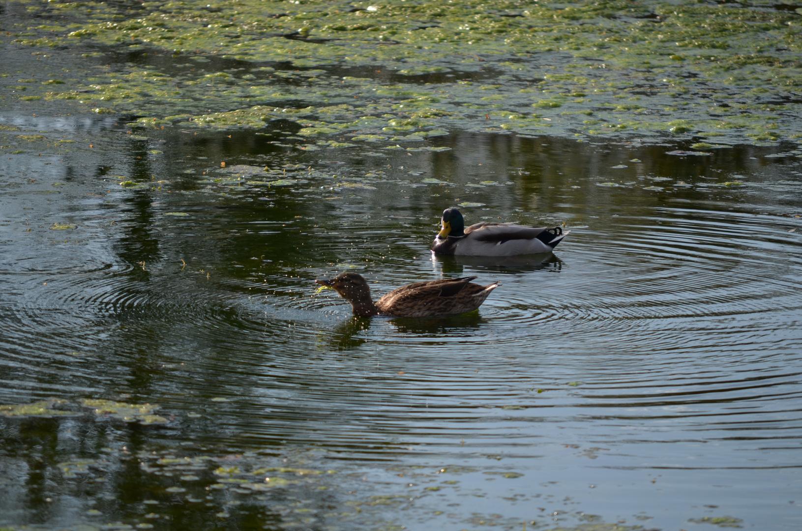 Enten im Sumpfwasser