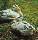 Ente(n) im Tierpark Petermoor III