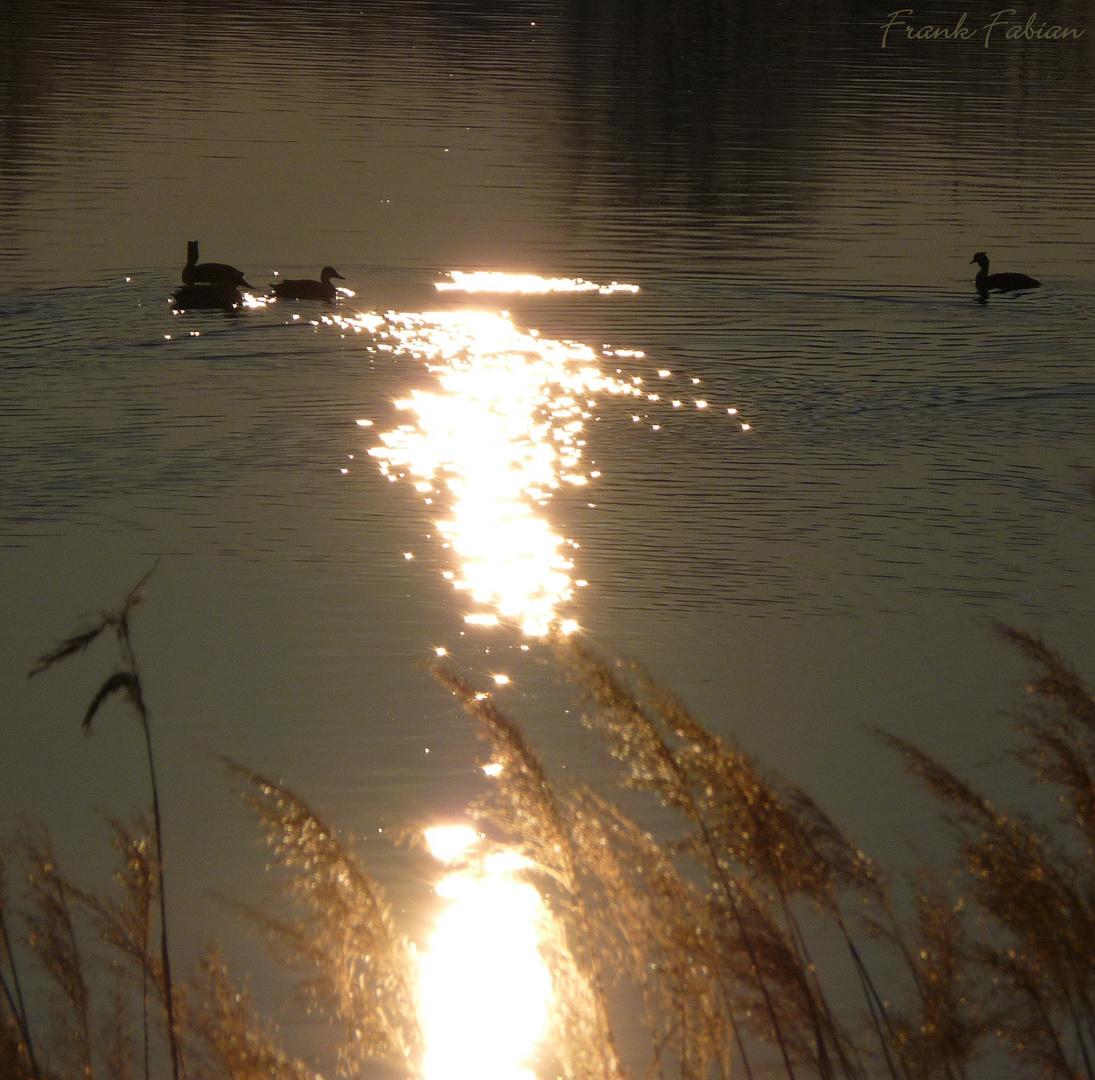 Enten in der Abendsonne