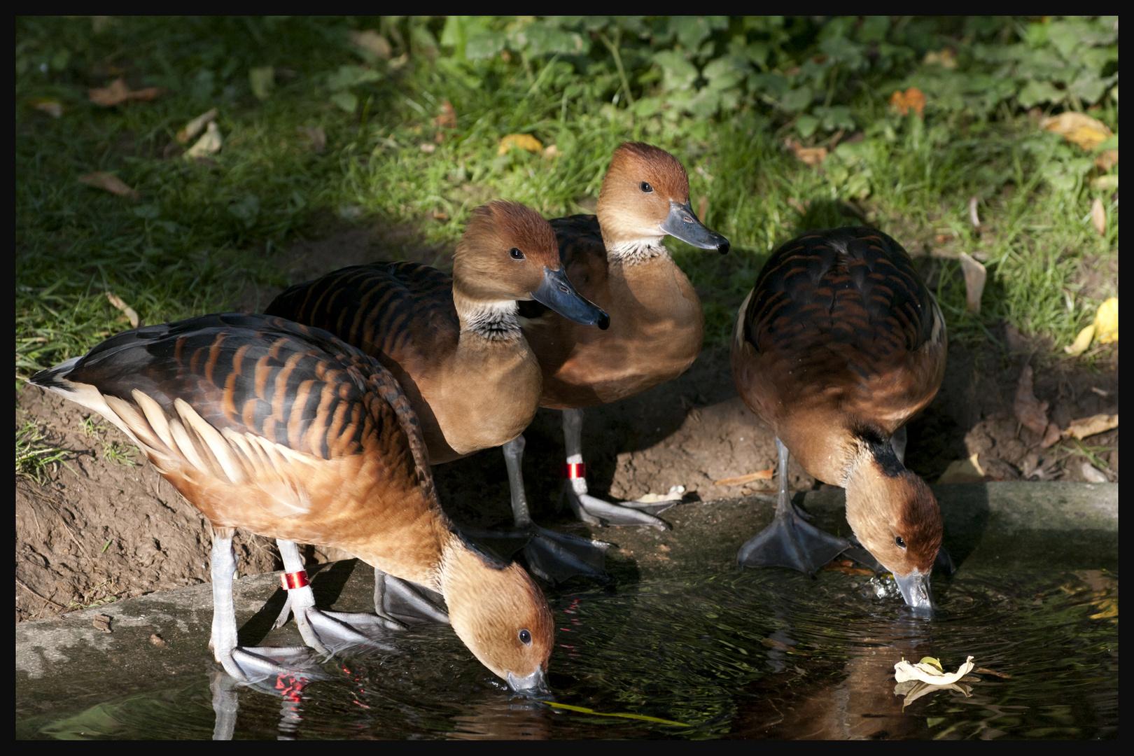 Enten oder Gänse