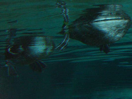 Enten oder getarnte U-Boote???