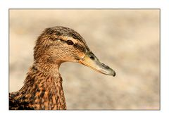 Enten Portrait