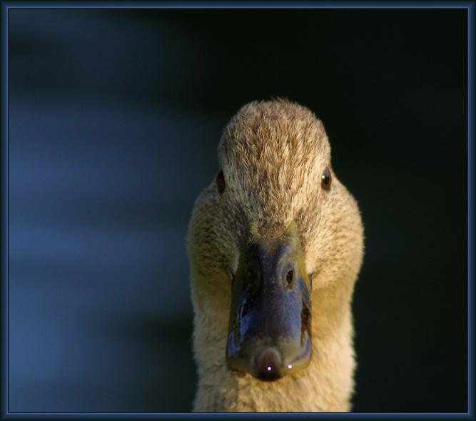 Enten Portrait #3 < - Ich gucke - >