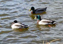 Enten schwimmen auf dem See...