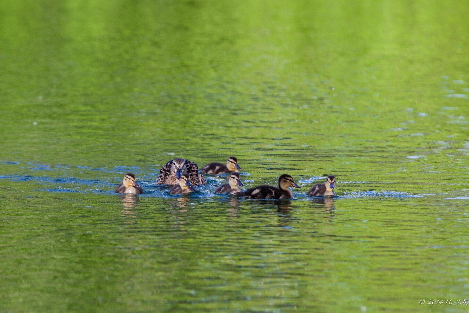 Entenfamilie ......bis auf die Mutter waren alle ganz entspannt!