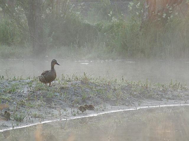 Entenfamilie früh morgens