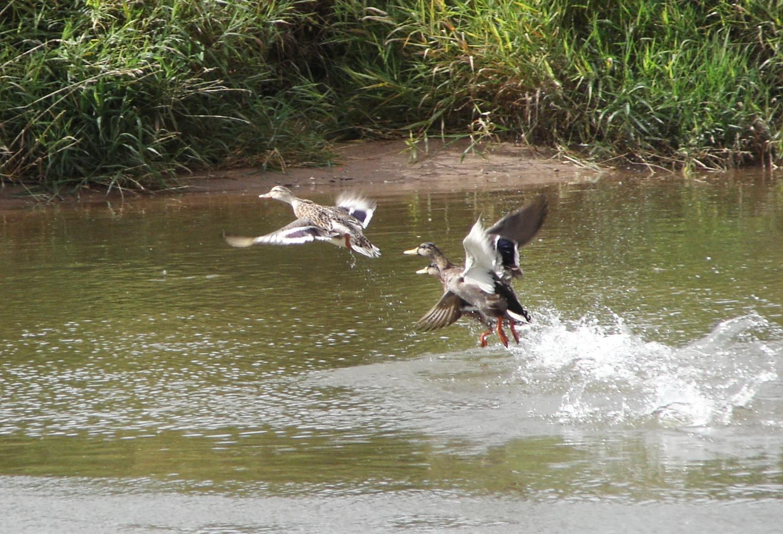 Entenflug am Fluss