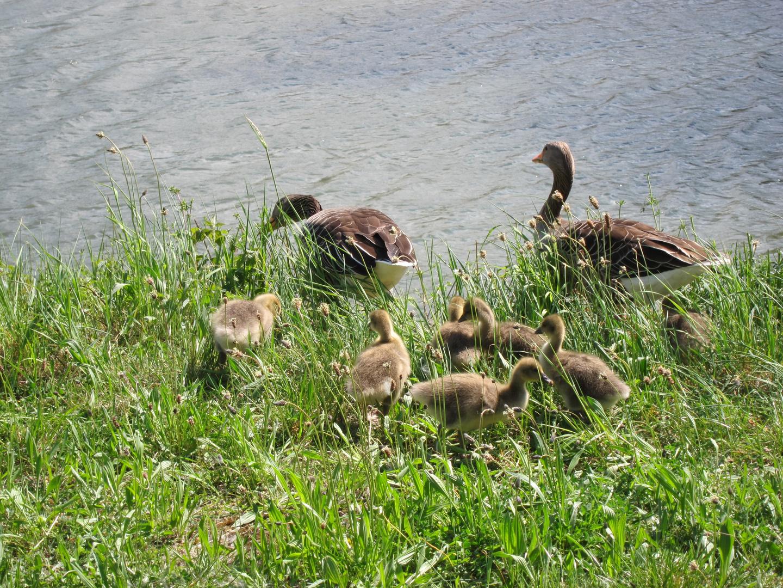 Entenkinder und Enten Eltern