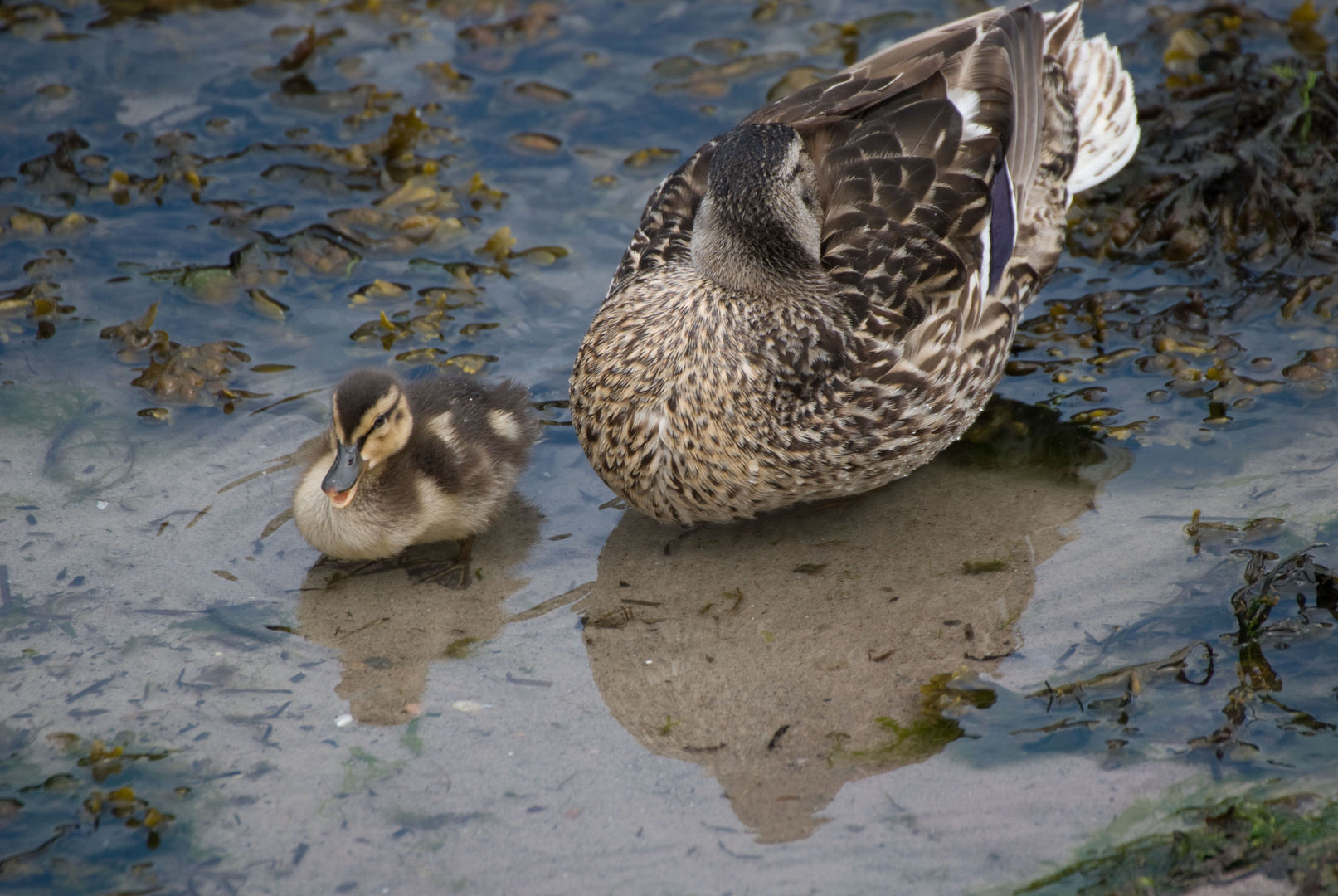 Entenmutter mit Jungem