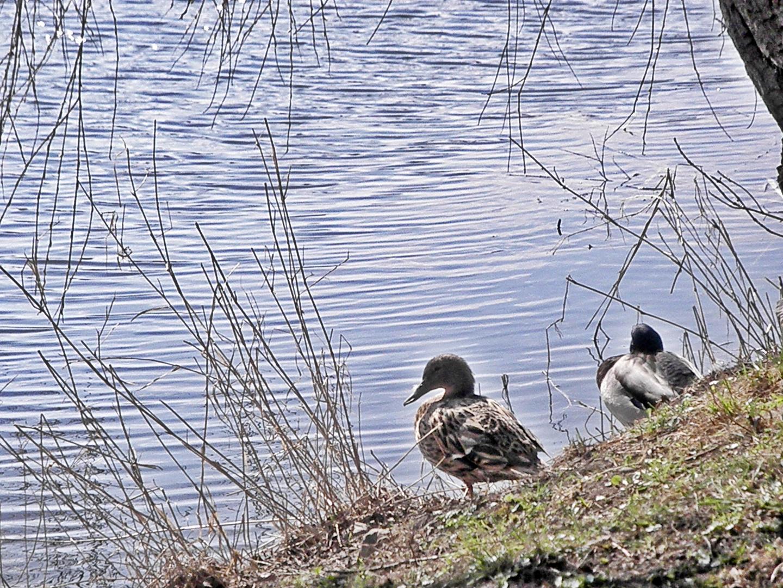 Entenpaar am Teich