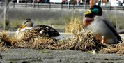 Entenpaar im Hamburger Hafen von EdelS