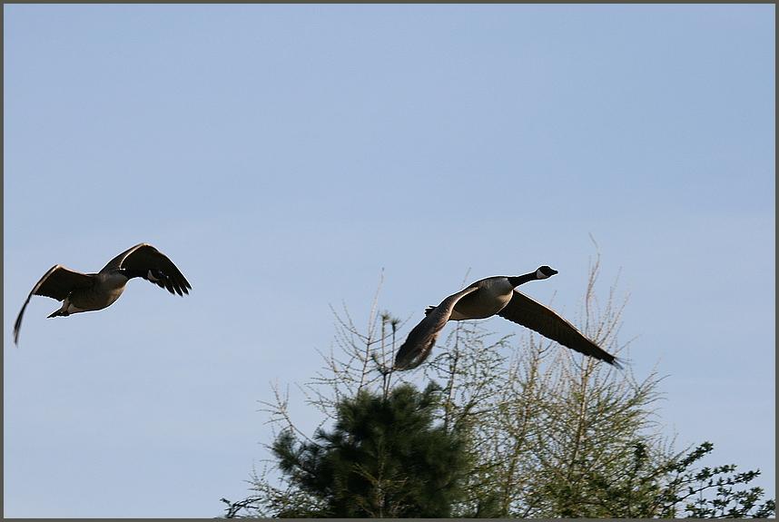 Entenpaar machen einen Ausflug.........