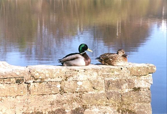 Entenpaar wartet noch auf Frühlingsgefühle