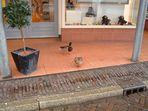 Entenpärchen beim shoppen