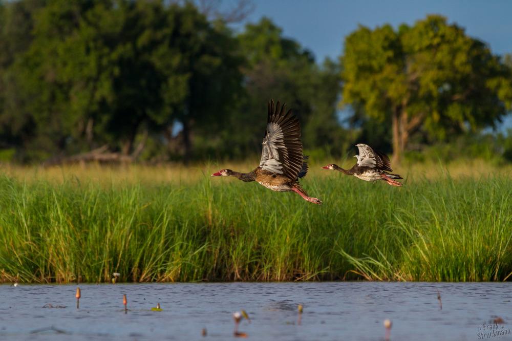 Entenrennen - Sporen Gans (Spur-winged-Goose)