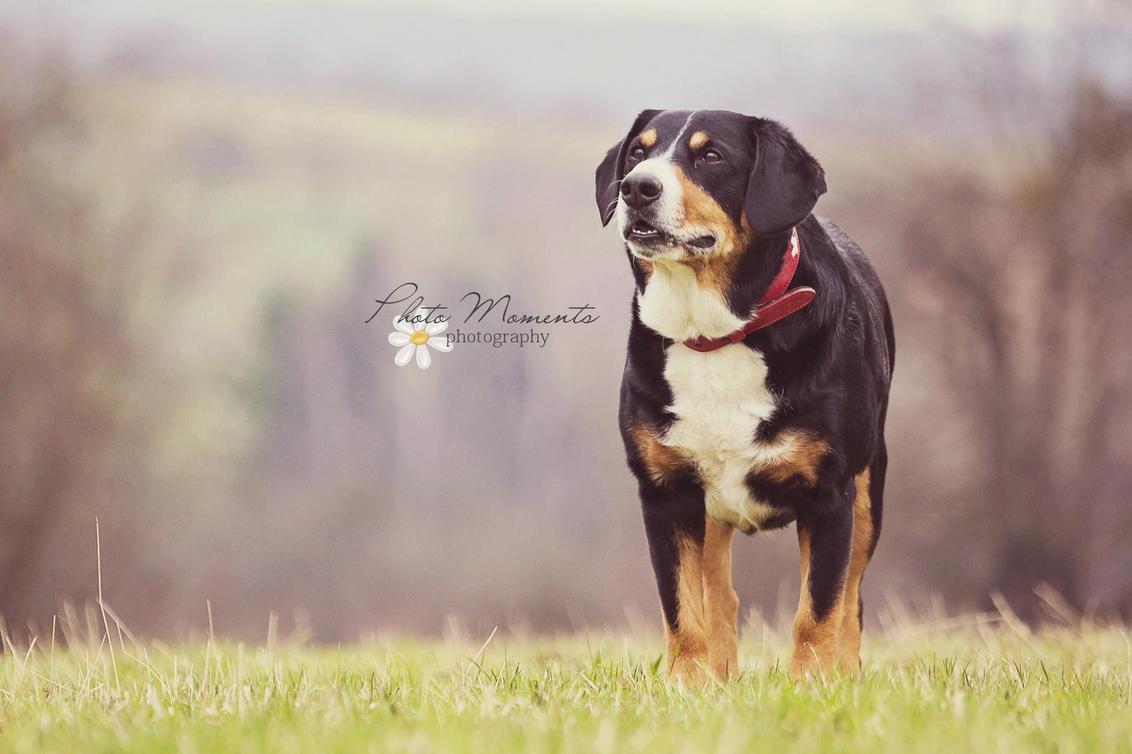 """Entlebucher Sennenhund """"Nando"""" 2"""