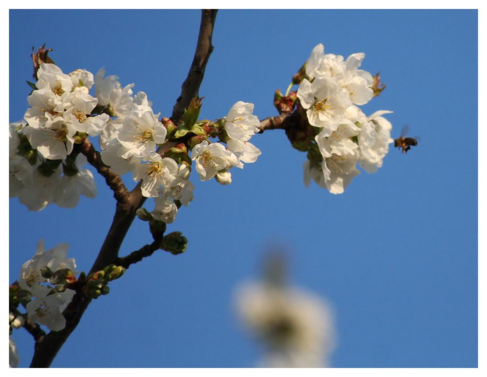 Entre une cerisier fleuri et une abeille c'est l'amour fou