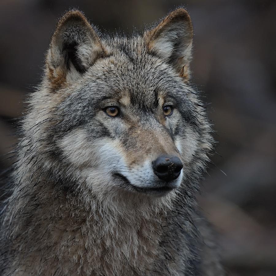 entspannt, wachsam, wolf