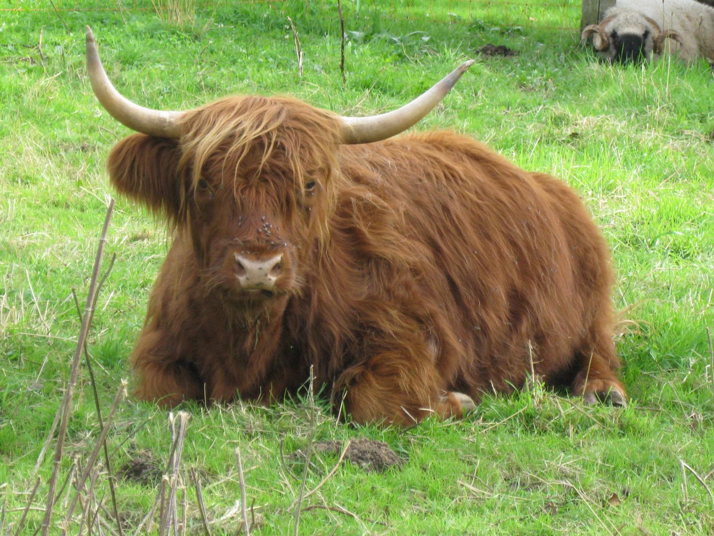 entspannte Kuh