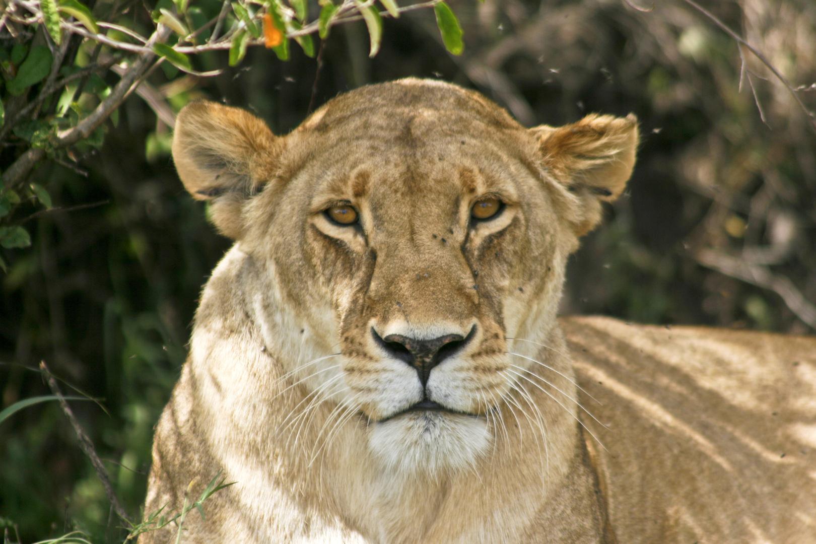 Entspannte Löwendame