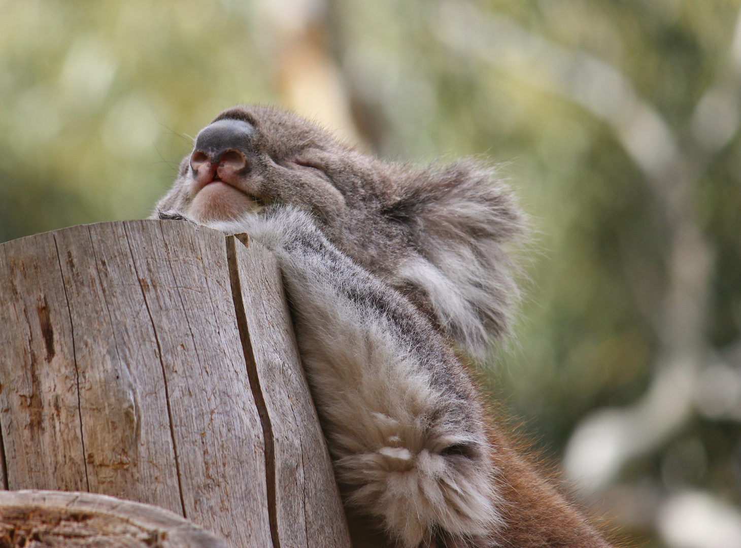 Entspannter Koala