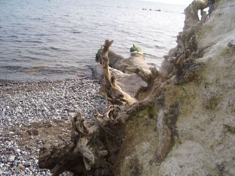 Entwurzelter Baum am Kreidefelsen auf der Insel Rügen