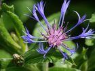 entzückende Berg Flockenblume