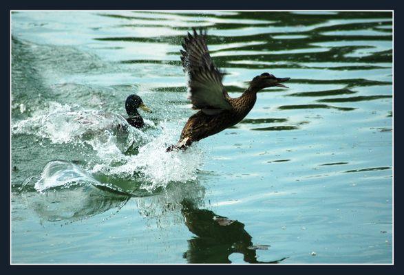 Envol de Canards au Parc De La Tête D' Or