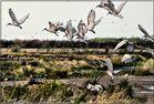 Envol d'ibis sacré