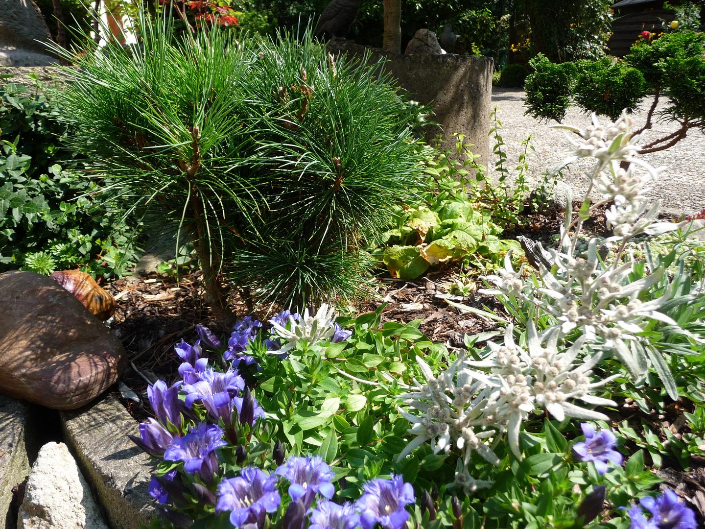 enzian edelwei zirbe foto bild pflanzen pilze flechten bl ten kleinpflanzen. Black Bedroom Furniture Sets. Home Design Ideas