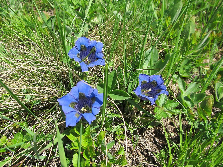 Enziane Schöne Blaue