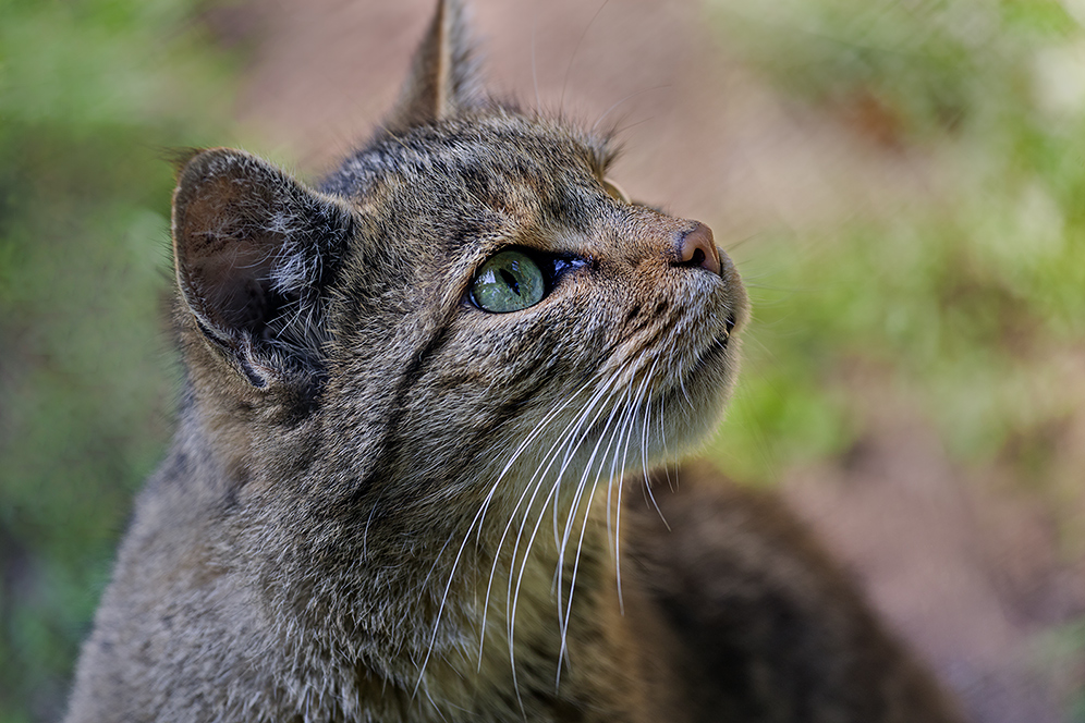 EOS meets WILDCAT (EUROPEAN WILDCAT 18)