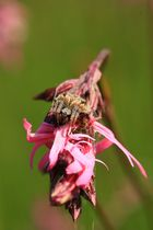 Epeire sur Lychnis