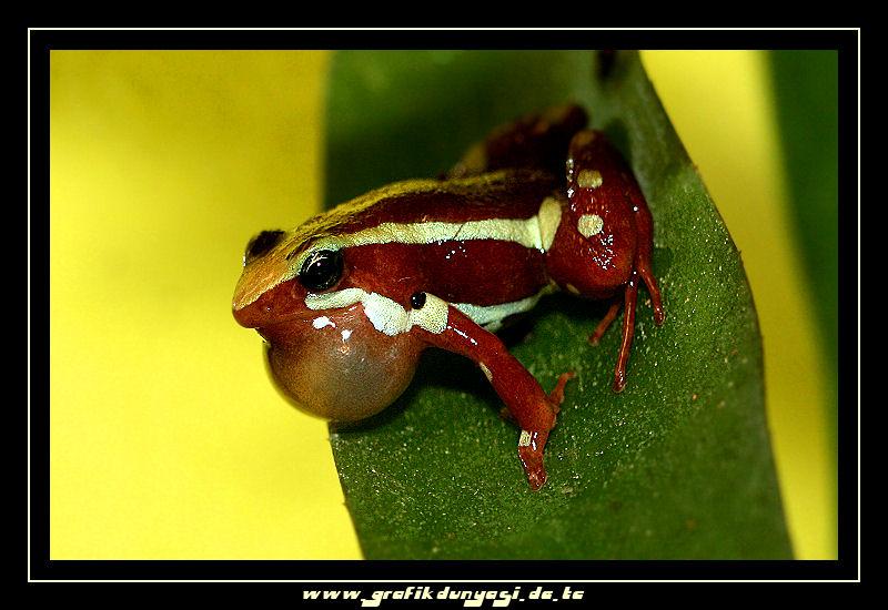 Epipedobates tricolor Dreistreifen Blattsteiger