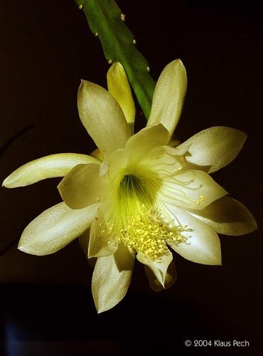Epiphyllum-Hybride