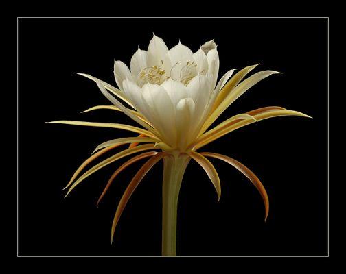 Epiphyllum Laui .. Ein geniales Wunder der Natur