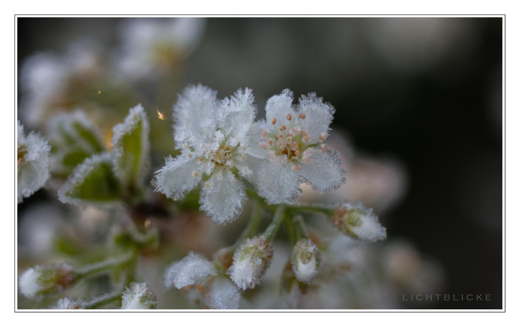 er Frost in der Blüte