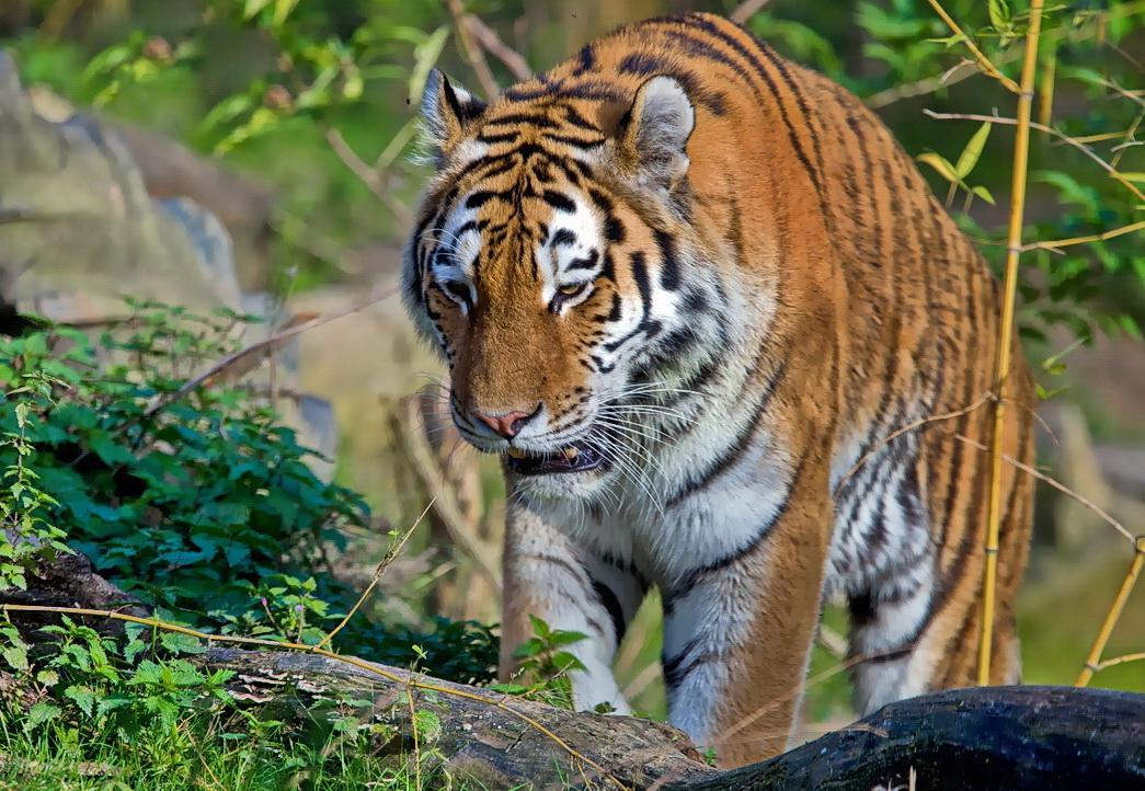 Er tigert
