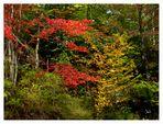 Erables en automne au Québec