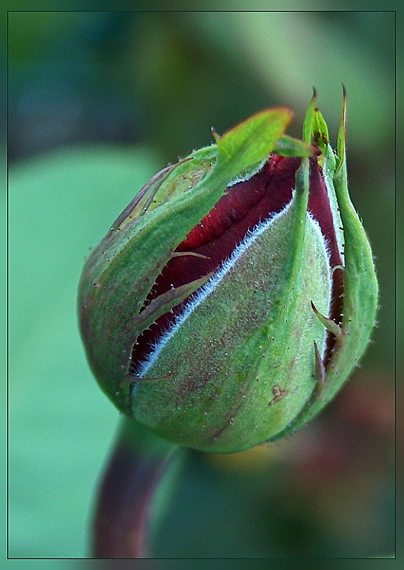 erblühende Rose