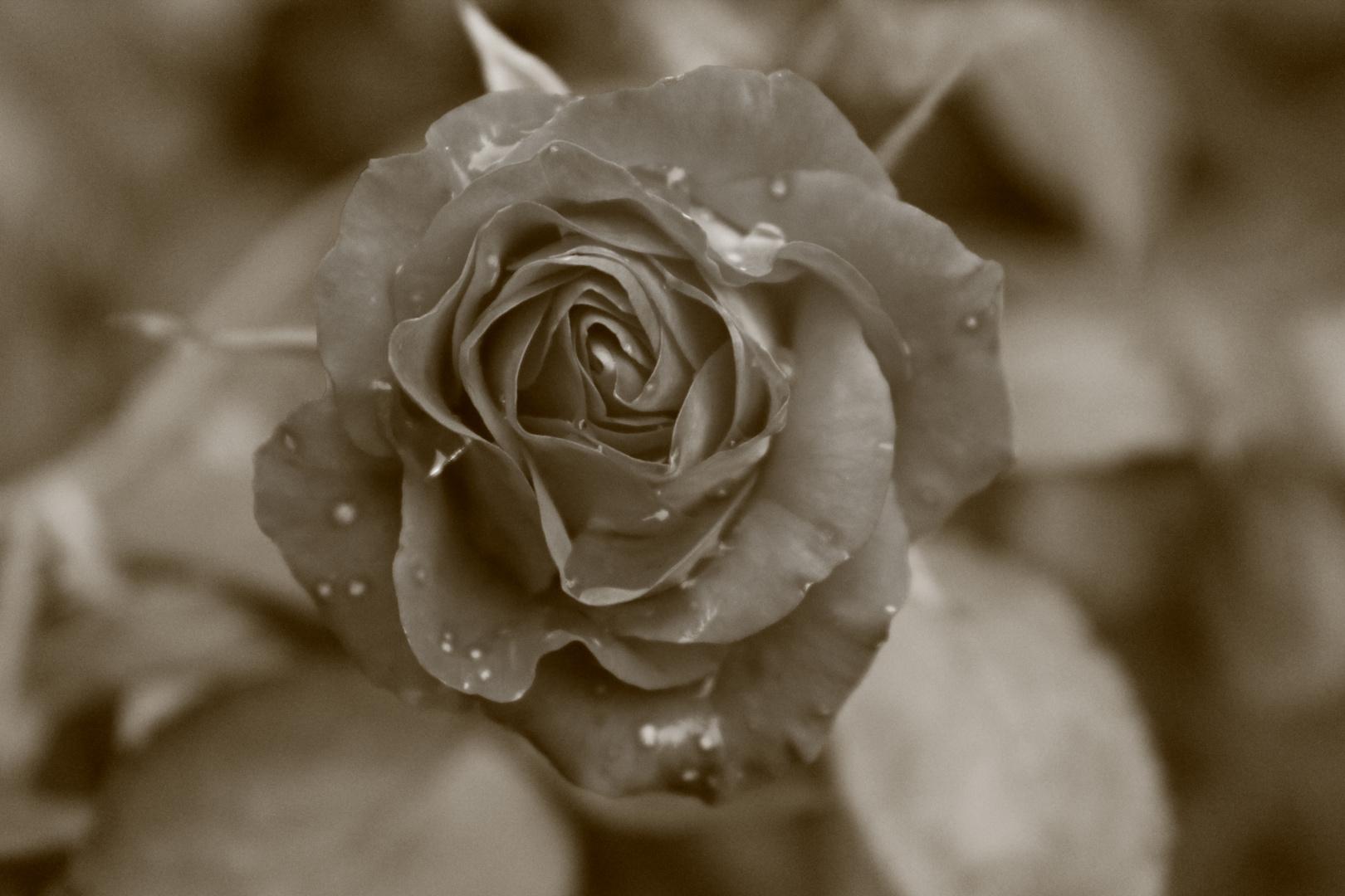 erblühte Rose