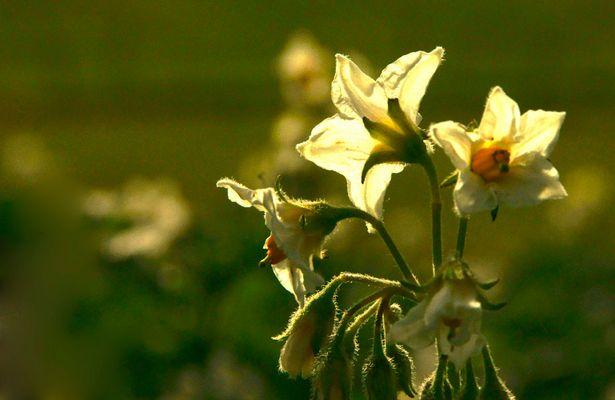 Erdapfel-Blüte