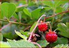 Erdbeer-Ernte