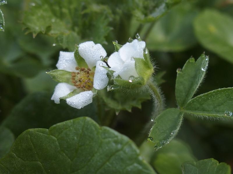 Erdbeer-Fingerkraut 'Potentilla sterilis' mit Wassertropfen